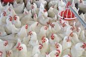 پرورش و فروش عمده مرغ گوشتی ( زنده )