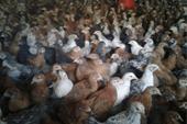فروش جوجه مرغ محلی و جوجه کاکلی وجوجه بلک استار