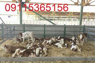 فروش گوساله سمینتال ، فروش گوساله هلشتاین