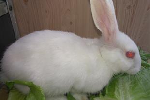 بچه خرگوش سفید با چشمان تیله ای صورتی...سلامت وشیط