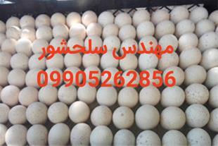 فروش تخم نطفه دار  کبک مهندس سلحشور09905262856