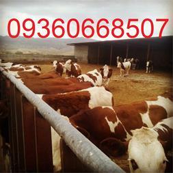 فروش گوساله سمینتال ، قیمت گوساله سمینتال - 1