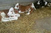 فروش گوساله و گاو