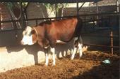 خرید و فروش گاو و گوساله سیمینتال و هلشتاین