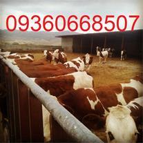 فروش گوساله سمینتال ، قیمت گوساله سمینتال