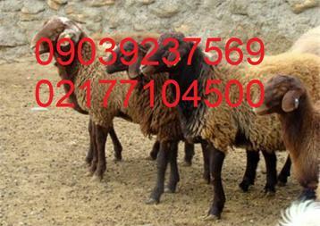 فروش قوچ افشار دوقلوزا هترو و همو - 1