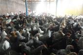 فروش مرغ بلک استار سه ماهه با وزن 1550