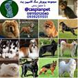 فروش انواع نژاد سگ اصیل نگهبان و آپارتمانی