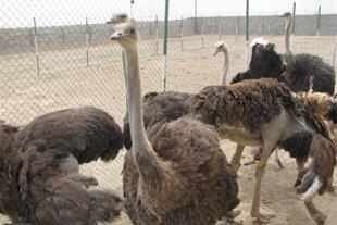پرورش قارچ و شتر مرغ در نظراباد