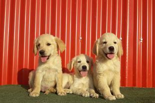 فروش سگ گلدن رتریور