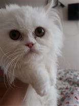 گربه پرشین اصیل همراه تمامی وسایل و غذا