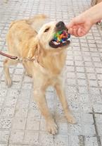 سگ گلدن رتریور 8 ماهه