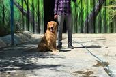 فروش سگ گلدن روتریور