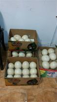 غروش تضمینی انواع تخم نطفه دار پرندگان