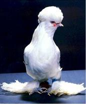 فروش تضمینی تخم نطفه دار مرغ و خروس نژاد سلطان