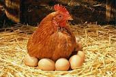 فروش تخم نطفه دار گلپایگان