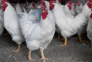 تخم نطفه دار نژاد آرین گوشتی