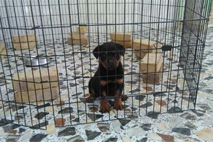 فروش توله سگ روتوایلر پوزه دلقکی استثنایی