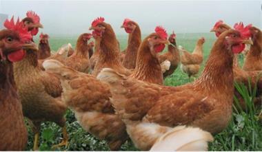 فروش مرغ بومی تخمگذار  ( رویان طیور ) - 1