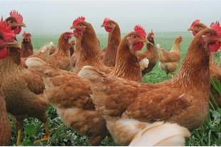 فروش مرغ بومی تخمگذار  گلپایگانی ( رویان طیور )