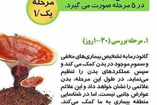 فروش قارچ گانو درما - فروش بذر قارچ