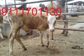 فروش گوساله هلشتاین