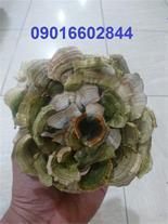 فروش قارچ دم بوقلمونی - قیمت بذر قارچ