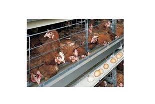 فروش مرغ بومی مخصوص تخمگذاری