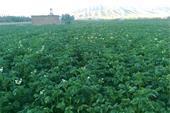 فروش سیب زمینی با خاک