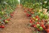 فروش گوجه ی گلخانه ایی مرغوب