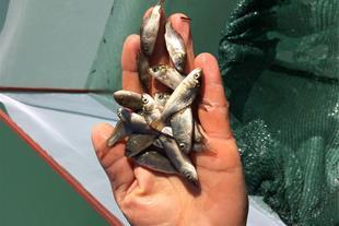 بچه ماهی اصلاح نژاد تکثیری5 گرم