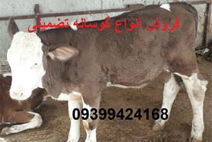 فروش گوساله پرواری در بندر ترکمن فروش گوساله