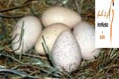 فروش تخم نطفه دار طاووس و دستگاه جوجه کشی طاووس