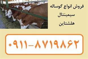 فروش گوساله هلشتاین ، فروش گوساله سیمینتال