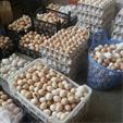 تخم نطفه دار مرغ بلک استار و گلپایگانی