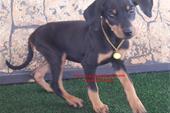 توله سگ دوبرمن فوقالعاده. لصیل
