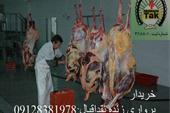 خرید شترمرغ پرواری بصورت زنده نقد با بالاترین قیمت