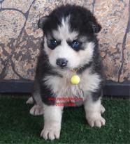 توله سگ هاسکی اصیل و زیبا