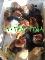 فروش ویژه جوجه مرغ بومی