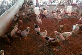 فروش تخم نطفه دار مرغ