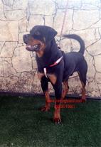 سگ روتوایلر از مولدینی وارداتی و به شرط بازدید