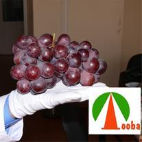 فروش نهال انگور رد گلوب