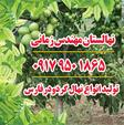 تولید و فروش نهال گردو خوشه ای در شیراز