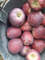 سیب سمیرم