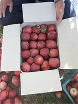 سیب درختی ارزان