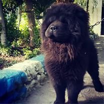 سگ چاو چاو نر یک ساله و نیم
