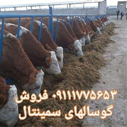 فروش گوساله سیمینتال ، خرید و فروش گوساله گوشتی - 1