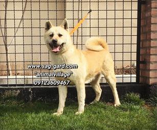 فروش دوقلاده سگ اکیتا ژاپنی اماده جفتگیری