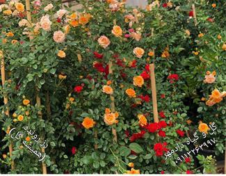 گل رز رونده دائم گل معطر