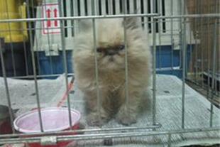 فروش ویژه گربه پرشین